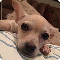 Adopt A Pet :: SPECIAL NEEDS CHI - Los Angeles, CA