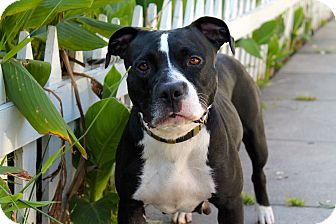 Labrador Retriever/Pit Bull Terrier Mix Dog for adoption in Los Angeles, California - Lovely Lena