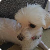 Adopt A Pet :: Tinky - Cary, NC