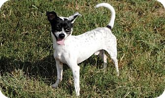Chihuahua Mix Dog for adoption in richmond, Virginia - TY