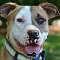 Boxer Mix Dog for adoption in Northville, Michigan - Gibson