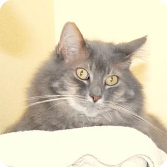 Domestic Mediumhair Cat for adoption in Eastsound, Washington - Stella