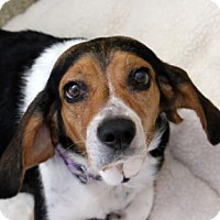 Beagle Mix Dog for adoption in Ann Arbor, Michigan - Sue