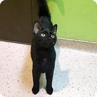 Domestic Shorthair Cat for adoption in Janesville, Wisconsin - Gohan