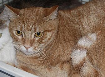 Domestic Shorthair Cat for adoption in New Bern, North Carolina - McNeil