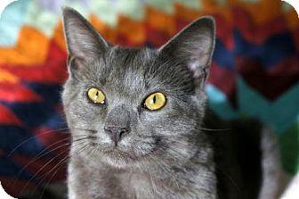 Domestic Shorthair Cat for adoption in Philadelphia, Pennsylvania - Ace