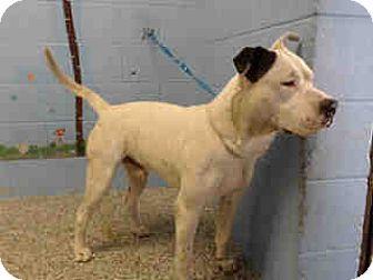 Pit Bull Terrier Mix Dog for adoption in San Bernardino, California - URGENT on 11/29 SAN BERNARDINO