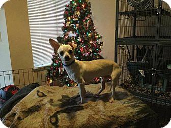 Chihuahua Mix Dog for adoption in Denver, Colorado - Tucker