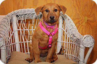 Shepherd (Unknown Type)/Golden Retriever Mix Puppy for adoption in Fort Atkinson, Wisconsin - Lauren