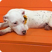 Adopt A Pet :: Freckles---Courtesy Listing - Fort Worth, TX