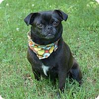 Adopt A Pet :: Puglette - Mocksville, NC