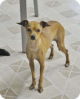 Brooklyn, NY - Italian Greyhound/Chihuahua Mix. Meet ...