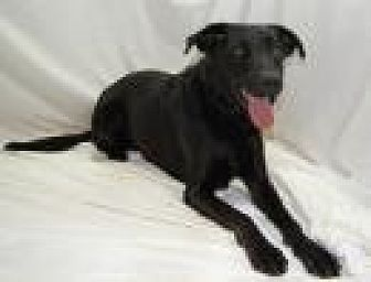 Labrador Retriever/German Shepherd Dog Mix Dog for adoption in Jackson, Mississippi - Erica