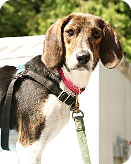 Hound (Unknown Type) Mix Dog for adoption in Bellingham, Washington - Liv