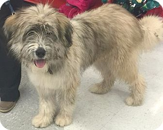 wheaten terrier rescue colorado boulder co bearded collie wheaten terrier mix meet 1761
