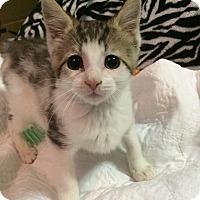 Adopt A Pet :: Boo Boo - Brooklyn, NY