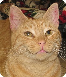 Domestic Shorthair Cat for adoption in New Windsor, New York - Manny