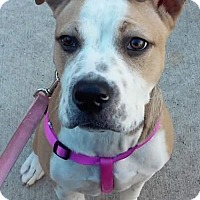 Adopt A Pet :: Brooklyn - COURTESY POST - Chesterfield, MI
