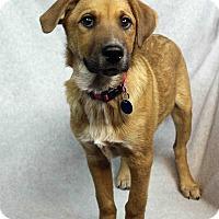 Adopt A Pet :: Perez - Westminster, CO