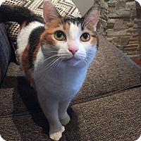 Adopt A Pet :: Pollie *declawed* - Toronto, ON