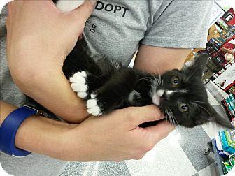 Domestic Mediumhair Kitten for adoption in Monrovia, California - Lightning