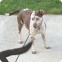 Redtick Coonhound Mix Dog for adoption in Elyria, Ohio - Bonnie
