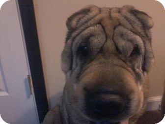 Shar Pei Dog for adoption in Chambersburg, Pennsylvania - Botox