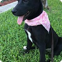 Adopt A Pet :: Krissy - Royal Palm Beach, FL