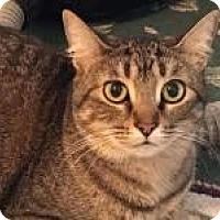 Domestic Shorthair Cat for adoption in Bruce Township, Michigan - Crown