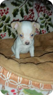 Chihuahua Mix Puppy for adoption in Houston, Texas - THE JOKER