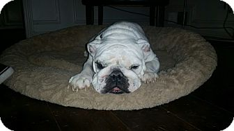English Bulldog Dog for adoption in Dallas, Texas - Fiona