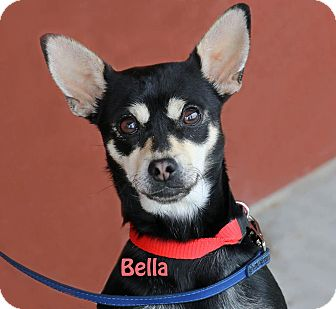 Chihuahua Mix Dog for adoption in Idaho Falls, Idaho - Bella
