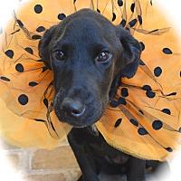 Labrador Retriever/Hound (Unknown Type) Mix Puppy for adoption in Ijamsville, Maryland - Velma