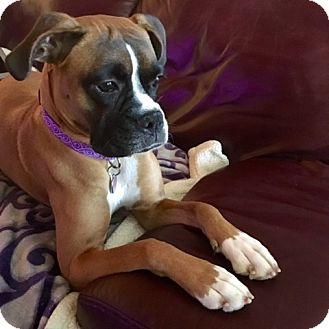 Boxer Dog for adoption in Austin, Texas - Merry Jane