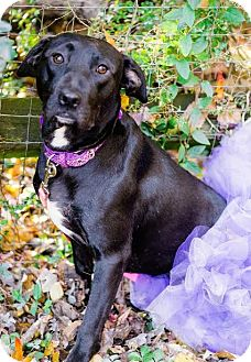 Labrador Retriever/American Staffordshire Terrier Mix Dog for adoption in Charlotte, North Carolina - Macy