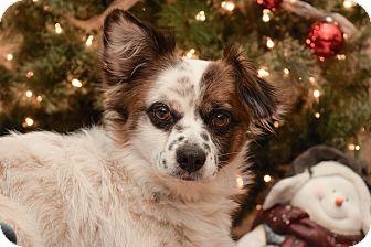 Corgi Mix Dog for adoption in Wichita, Kansas - Charlie