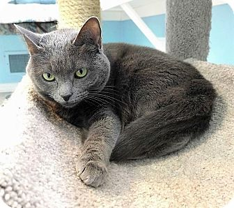 Domestic Shorthair Cat for adoption in Fairfax, Virginia - Nicky