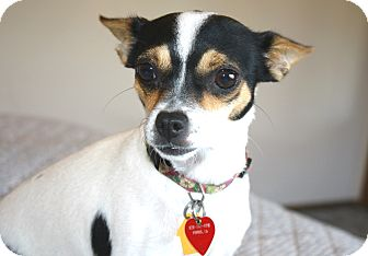 rat terrier mixed with chihuahua harriet 8 lbs adopted dog los angeles ca rat 7694