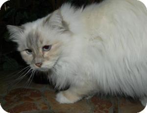Birman Cat for adoption in Ennis, Texas - Catalina
