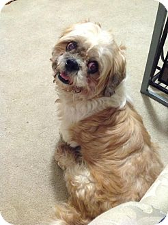 Shih Tzu/Lhasa Apso Mix Dog for adoption in Youngstown, Ohio - Griffin ~ Adoption Pending