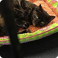 Domestic Mediumhair Cat for adoption in St. Cloud, Florida - Sydney