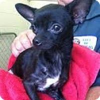 Adopt A Pet :: Pixie - Brattleboro, VT