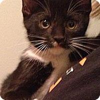 Adopt A Pet :: Catmandu - Troy, OH