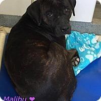 Adopt A Pet :: Malibu - Buchanan Dam, TX