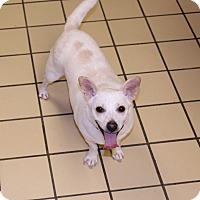Terrier (Unknown Type, Small)/Chihuahua Mix Dog for adoption in Lumberton, North Carolina - Elsa