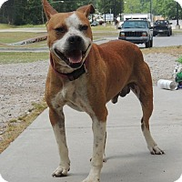 Boxer Mix Dog for adoption in Chester, South Carolina - ZONE C-16-803