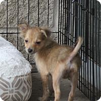 Adopt A Pet :: Pewsey - Norwalk, CT