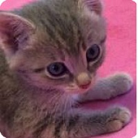 Adopt A Pet :: Kittens! - Novato, CA