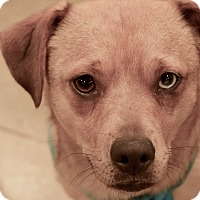 Adopt A Pet :: Teddy Roosevelt - Wichita, KS
