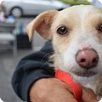 Adopt A Pet :: Arenita B - Seattle, WA